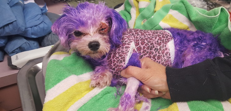 lila gefärbte Hündin