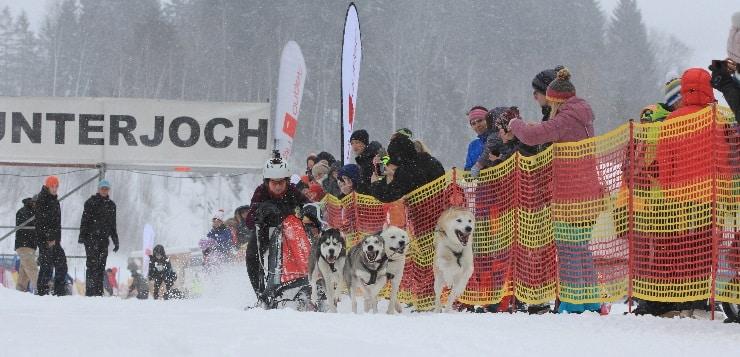 Schlittenhunde rennen im Startbereich