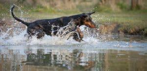 Dobermann rennt im Wasser
