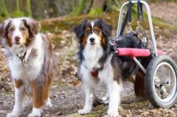 zwei Hunde im Wald, einer ist in einem Rollwagen