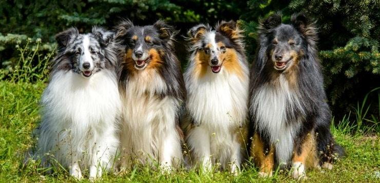 Vier Shelties sitzen nebeneinander auf einer Wiese.
