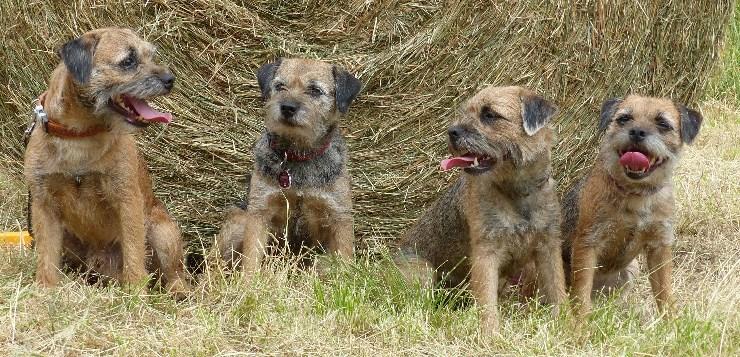 Vier Border Terrier sitzen vor einem Strohballen.