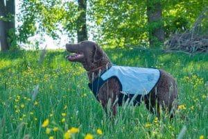 Hund trägt kühlende Weste