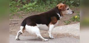 Ein Hund zeigt Koordinationsstörungen beim Gehen. Es liegt eine neurologische Störung vor.
