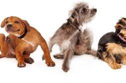 Drei Hunde kratzen sich.