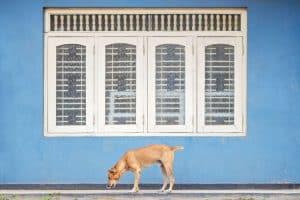 Hund auf Sri Lanka