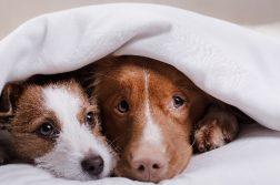zwei Hunde liegen zusammen unter einer Decke