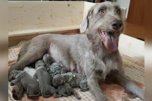 Huendin mit sieben neugeborenen Welpen