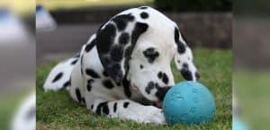 Junger Dalmatiner mit Futterspielzeug