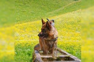 Schäferhund im Wassertrog
