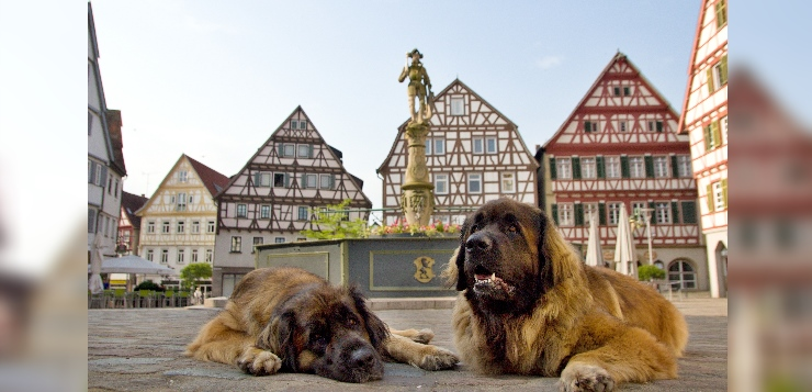 zwei Leonberger Hunde auf dem Marktplatz der Altstadt Leonbergs