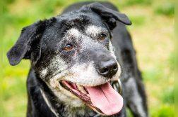 alter Hund mit grauem Gesicht