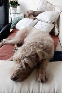 2 Huendinnen ruhen sich auf einem Sofa aus.