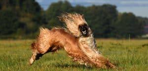 Afghanischer Windhund rennt über eine Wiese