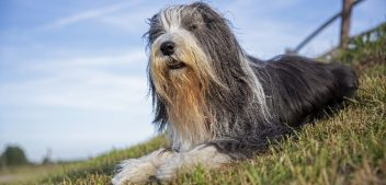 Rasseportrait: der Bearded Collie