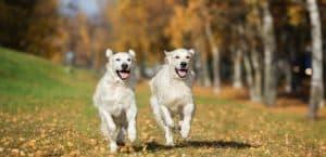 Zwei Retriever rennen im Herbst über eine Wiese