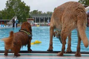 Ein Dackel und ein Retriever schauen vom Rand in ein Schwimmbecken.