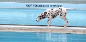 Dalmatiner läuft im Schwimmbad am Beckenrand entlang