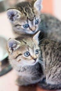 2 graue getigerte Kätzchen mit blauen Augen