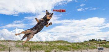 Rasseportrait: der Australian Cattle Dog
