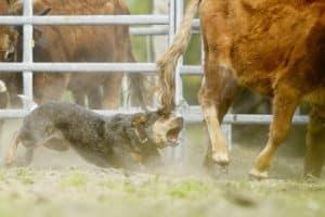 Cattle Dog arbeitet an Rinderherde