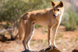ein Dingo