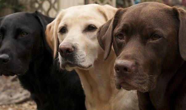 Ein schwarzer, ein gelber und ein brauner Labrador Retriever