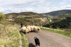 Hunde und Schafherde