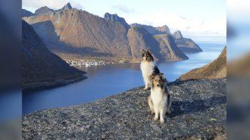 zwei Collies sitzen an einem norwegischen Fjord