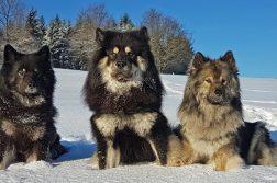 Drei Eurasier im Schnee