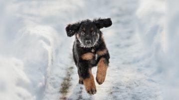 Hovawart-Welpe rennt durch den Schnee