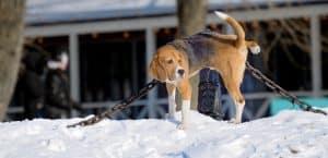 Hund pinkelt in den Schnee