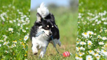 Chihuahua läuft auf Kamera zu und trägt Kordel mit einem Ball daran im Fang