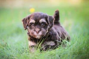 kleiner brauner Welpe im Gras