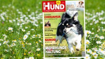 Covermotiv Chihuahua auf Hintergrund einer blühenden Wiese