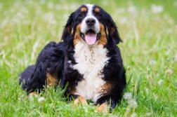 Ein Berner Sennenhund liegt auf einer grünen Wiese