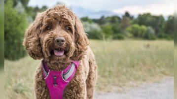 Brauner Hund mit pinkem Geschirr in Natur