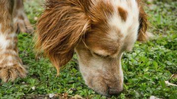 Hund riecht an Gras