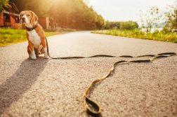 Angeleinter Beagle sitzt auf Weg