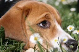 Beagle mit hochgezogener Augenbraue liegt im Gras