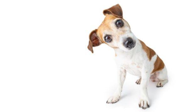 Terrier schaut Betrachter mit schiefgelegtem Kopf an