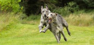 zwei Irische Wolfshunde spielen