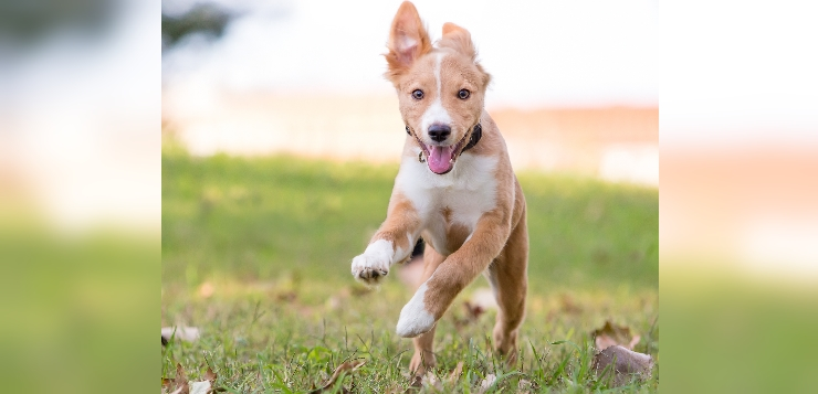 junger Hund rennt auf Wiese