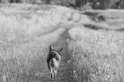 Hund geht auf Wiesenweg entlang