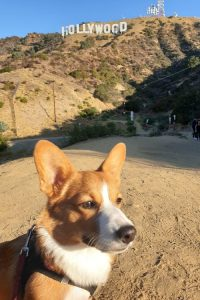 Corgi vor Hollywood-Schild