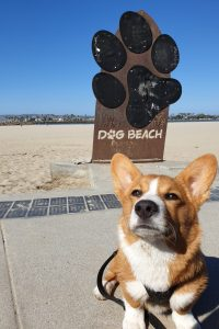 Corgi am Hundestrand in den USA
