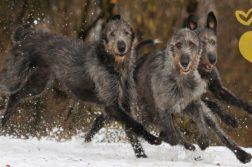 Drei dunkelgraue Irish Wolfhounds rennen über eine verschneite Wiese