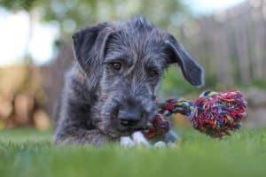 ein junger Irish Wolfhound