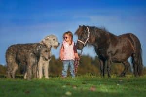 2 Irish Wolfhound mit einem kleinen Mädchen, das ein Pony am Führstrick hält