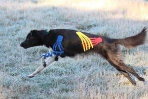 ein getapter Hund rennt über eine Wiese